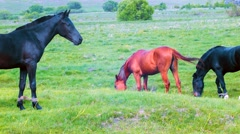 Three horses are grazed in a meadow Stock Footage