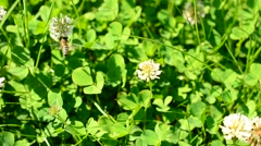 Bee collecting nectar and pollen on white clover flower - stock footage