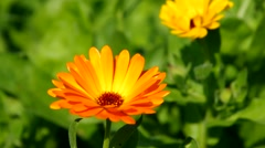 calendula flower in summer - stock footage