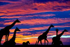 zebra and giraffes resting in the sunset - stock photo