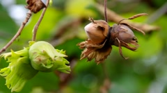 cobnut on tree in fall - stock footage