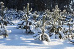 fir-tree in the winter - stock photo