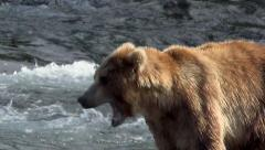 Close Up of Alaskan Brown Bear Yawning Stock Footage