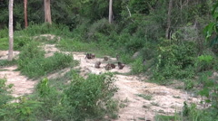 Stumptail Monkeys (Rare Footage) - 6 Stock Footage