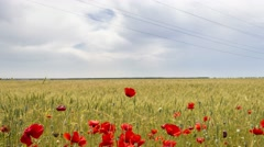 poppies in a field of wheat - stock footage