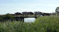 Cows crossing a small bridge in Dutch landscape. Stock Footage