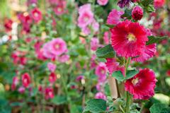 Malva flowers - stock photo