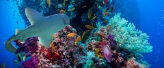 Tropical Anthias fish with net fire corals and shark Stock Photos