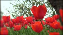 4k Tulips with the tree and blue sky in background. UHD crane shot stock vide Stock Footage