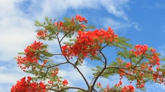 Poinciana trees and sky Stock Footage