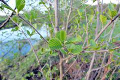 Young leaves of alder in the spring Stock Photos