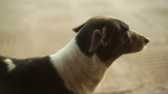 Loyal street dog in India, close up, shallow DOF Stock Footage