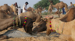 Camels eating food during annual Pushkar Fair in Rajasthan, India Stock Footage