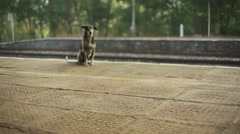 Lonely street dog waiting at train station platform, long shot Stock Footage