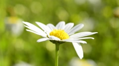 Marguerite flower Stock Footage
