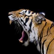 Sumatran Tiger Roaring Stock Photos