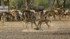 2 deer (or chital) play together Stock Photos