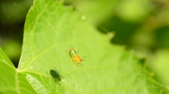 Green spider sitting patiently on its web waiting for prey Stock Footage