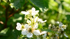 Stock Video Footage of Bee collecting nectar on beautiful white blackberry flower