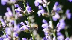 Stock Video Footage of Sage flower