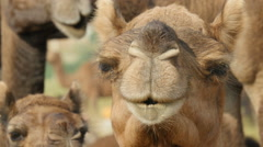 Herd of camels look into the camera in Pushkar, India Stock Footage