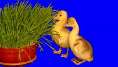4k 2 little goslings nibbling and eating green grass 04 Stock Footage