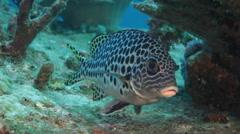 Andaman sweetlips fish marine life Stock Footage