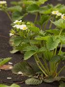 strawberry blooms white flowers - stock photo