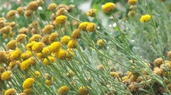 Flowers of wild buttercup - stock footage