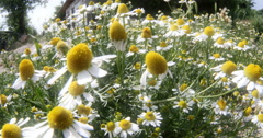 Chamomile in meadow 4k Stock Footage