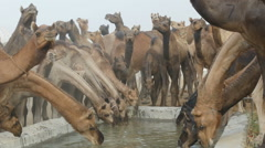 Thirsty camels gather at a water reservoir in Pushkar, India - stock footage