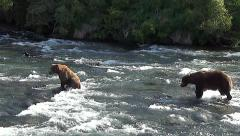 Brown Bear Boar Pursues Sow During Mating Season PartOne. Stock Footage