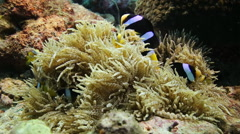 Anemone fish family marine life - stock footage