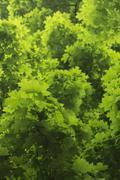 Green Maple Tree Leaves - stock photo