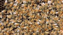 European, Italian, Sicilian Honey bees, close up. Stock Footage