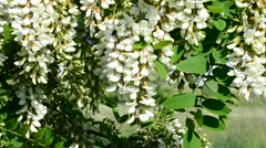 Blossom of black locust swaying blown by wind in spring Stock Footage