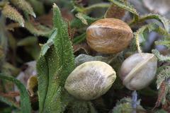 Three hemp seeds on  dried cannabis leaves Kuvituskuvat