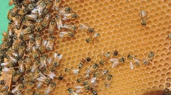 Honey bees, close up. Stock Footage