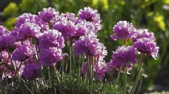 Delightful Alpine Plant Pink-Purple Flowers in Summer Sunset Light Stock Footage