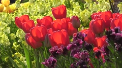 Vibrant Red Easter Tulips with Yellow and Purple Flowers in Spring Sunshine - stock footage