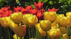 Bright Yellow and Red Easter Tulip Flowers in Sunshine Blowing in Spring Breeze - stock footage