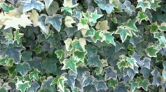 4k Ivy leaves close up. A close up of an Ivy plant with it's greens leaves. U Stock Footage