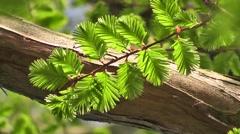 Fresh New Spring Leaves Basking Spring Sunshine Vibrant Green Colours of Nature Stock Footage