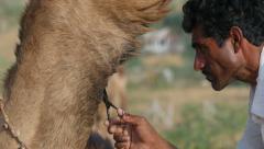 Pushkar Camel Fair, a barber trims carefully trims the beard of a camel Stock Footage