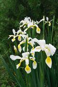 Veiled iris (Iris Spurio) - stock photo