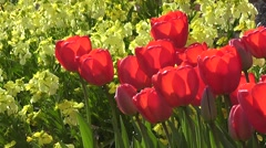 Stunning vibrant Red Tulips Flowers with Yellow Wallflowers in Spring Sunshine Stock Footage