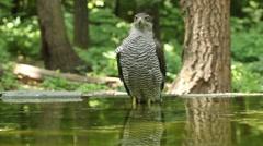 Bird Goshawk bathing in the forest pond Stock Footage
