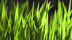Lush Green Grass Reed Leaves Blowing in the Wind and Spring Sunshine Stock Footage