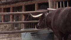 Longhorn Bull in a Pen Stock Footage