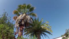 Red Wevil Control Palm Tree Cleaning Stock Footage
